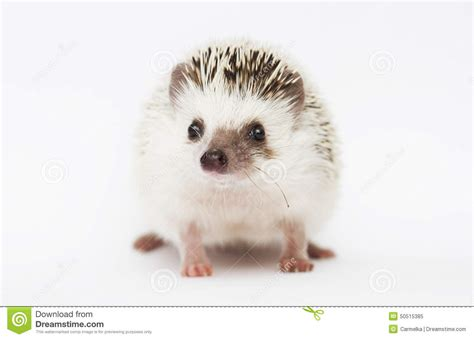 small animal heat l awesome and beautiful rodent hedgehog baby in white