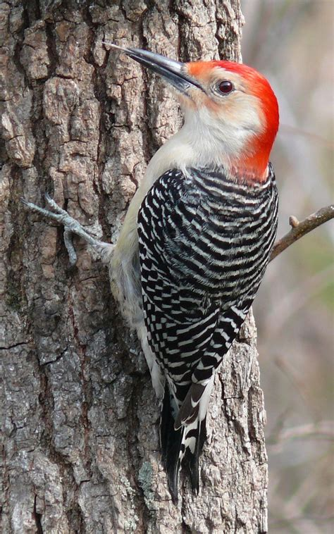 298 best images about woodpeckers on pinterest wild