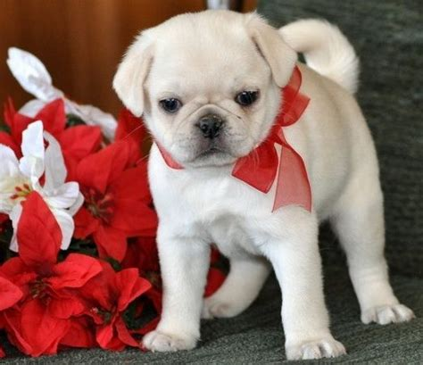 festive pug festive colored pug puppy and puppy pics pug