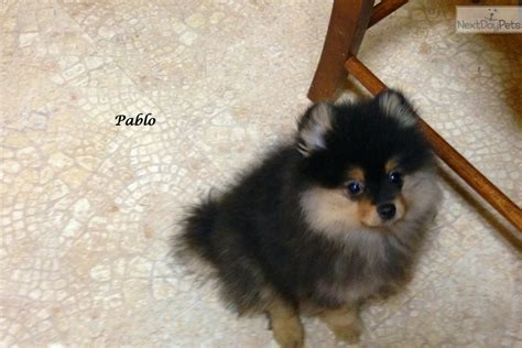 pomeranian puppies for sale in alabama pomeranian puppy for sale near birmingham alabama 082ce433 0ce1