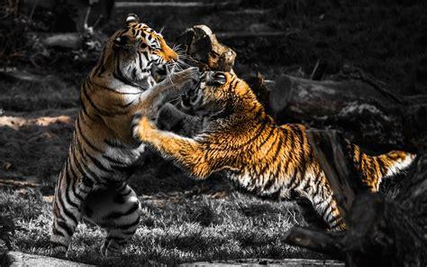imagenes de tigres verdes fondos de pantalla tigres jugando 1920x1200 fondo de