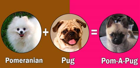 pug hybrid breeds top 10 pomeranian cross breeds mix breeds by dogmal