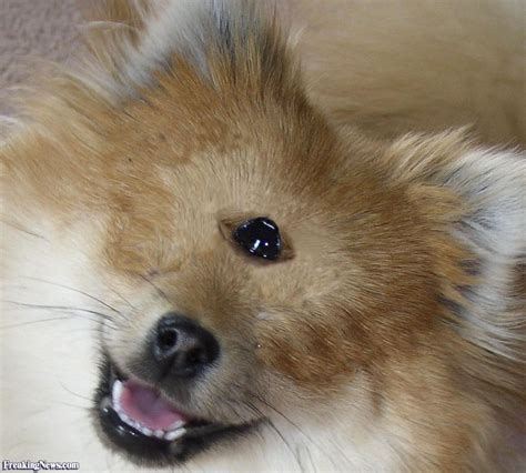 pomeranian with pomeranian cyclops pictures freaking news