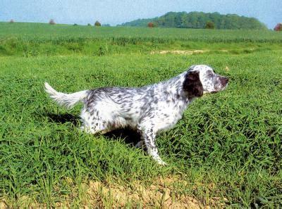 definition de setter anglais fiche de renseignement du setter anglais un chien d