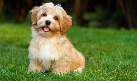 pet puppies puppies and dogs for sale in ct buy in ct breeder pet store