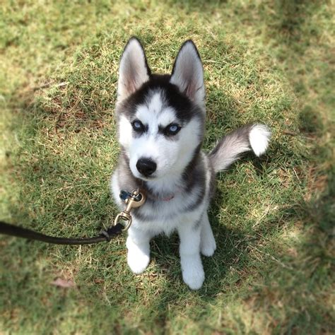 free puppies okc husky puppies oklahoma pets wallpapers
