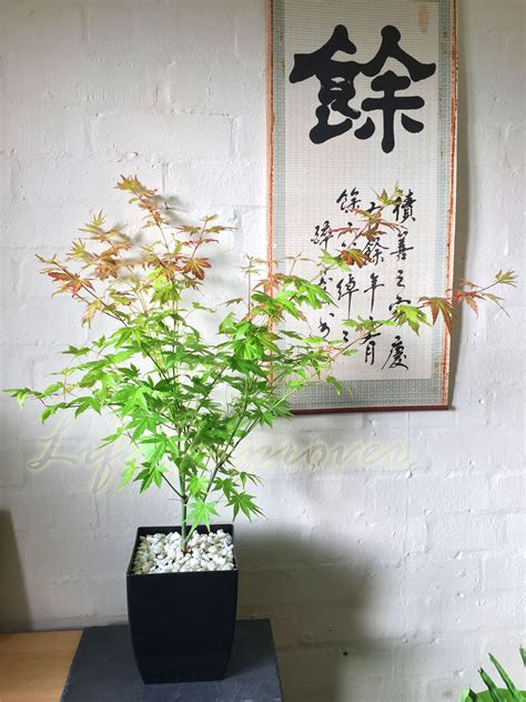 japanese house plants japanese maple acer palmatum house tree indoor outdoor plant garden in gloss pot ebay
