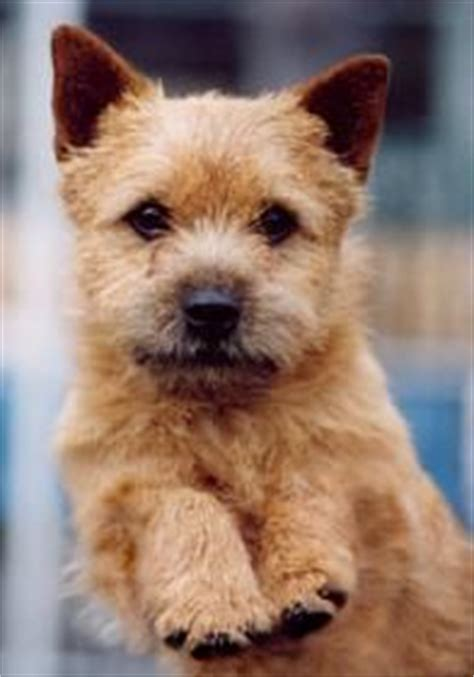 norwich terrier yorkie mix 1000 images about land on norwich terrier yorkie and yorkies