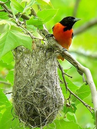 baltimore oriole east celebrate urban birds