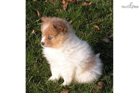 pomeranian michigan pomeranian husky mix puppies for sale in mn breeds picture