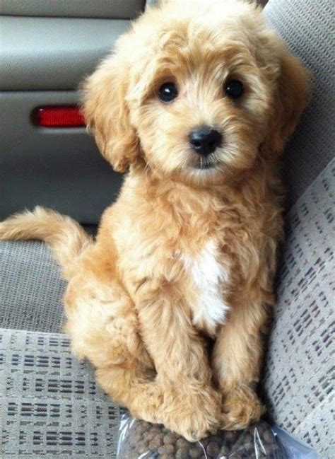 mini goldendoodles louisiana best 25 cutest small dogs ideas on
