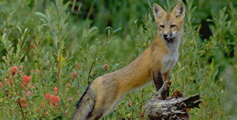 red foxes in indiana the nature conservancy