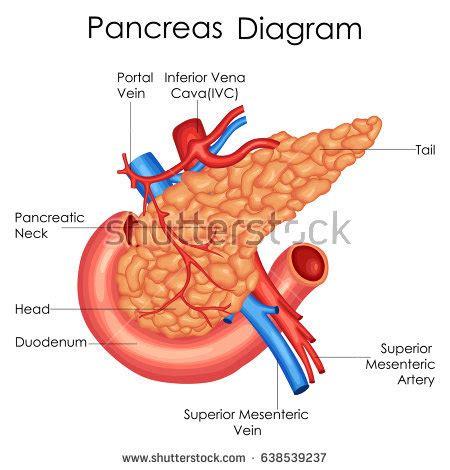 diagram of pancreas in pathway blood flow through stock illustration