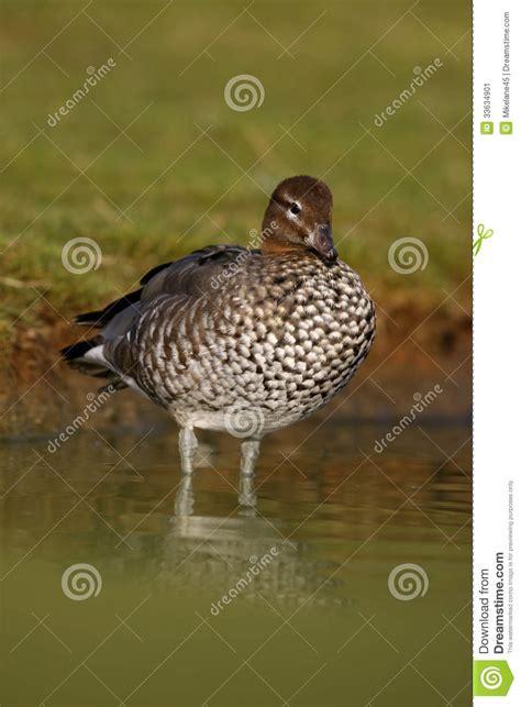 the australian woodworker chenonetta jubata australian wood duck or maned duck