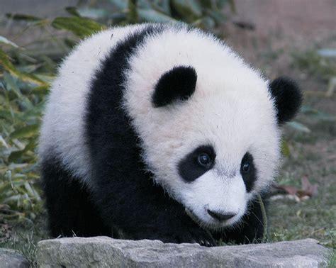 www panda petit panda 3 petites mailles