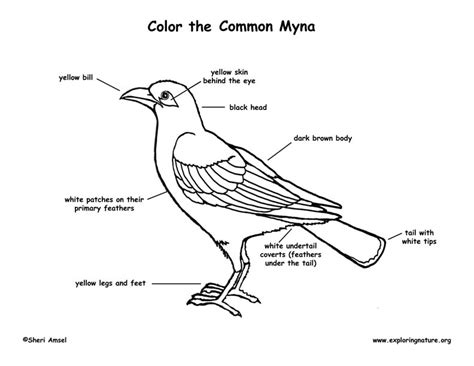 mynah bird coloring page myna bird coloring page