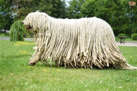 Komondor Dog Breed Information, Buying Advice, Photos and