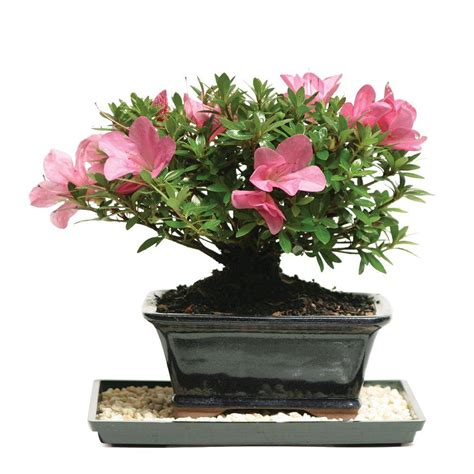 proven winners bloom a thon pink colorchoice azalea