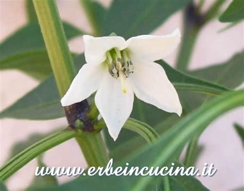 fiore siciliano erbe in cucina photo gallery siciliano