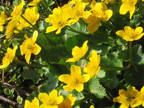 ranuncolo fiore scelte per te giardino fiore ranuncolo