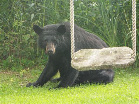 bear swing bear swing photograph by cheryl king