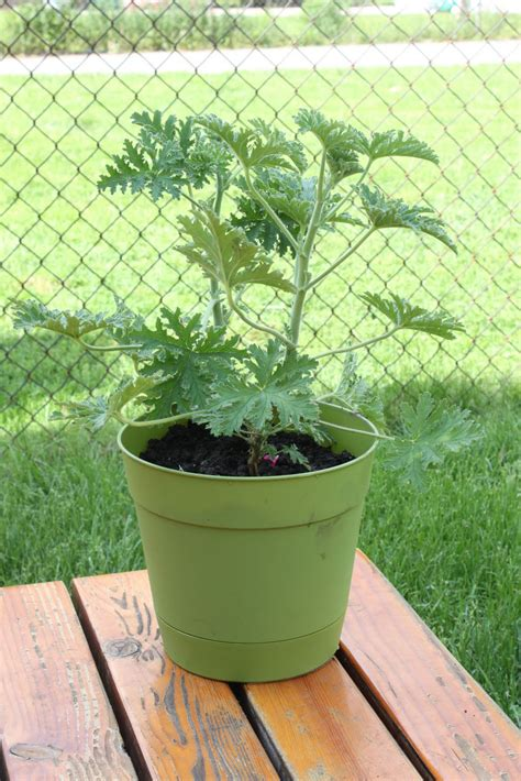 Mosquito Planter by Organizing As A Parent Mosquito Plant