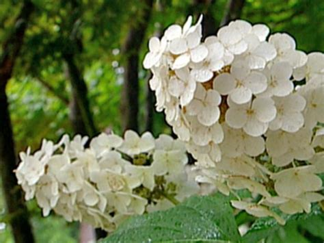 flowering summer shrubs summer flowering shrubs you ll hgtv