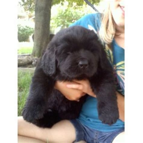 newfoundland puppies for sale in indiana lighthouse newfoundlands newfoundland breeder in grafton ohio