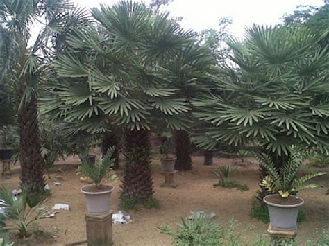 Pohon Palem Jenggot Langka mengenal tanaman dan pohon pitulast taman