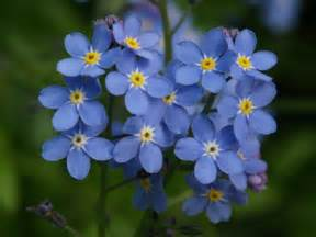 Chinese Forget Me Not Flower - gallery for gt forget me not