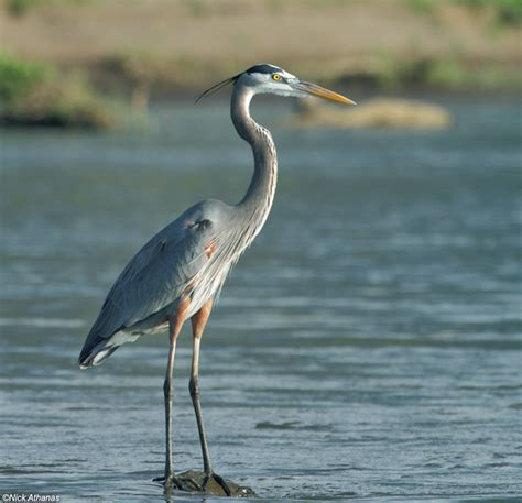 heron meaning the meaning and symbolism of the word heron