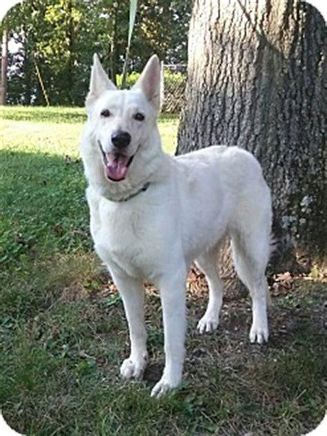 german shepherd puppies knoxville tn knoxville tn german shepherd meet heidi a for adoption
