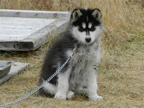 huskey puppies for sale husky puppy sale breeds picture