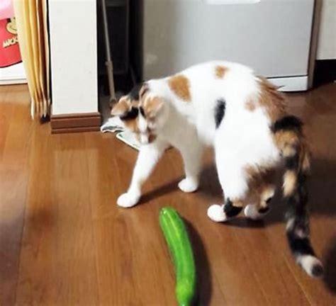 cat vs meme cats vs cucumbers your meme