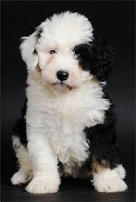 bernese poodle puppy bernese mountain poodle mix puppies other kinds of cuteness