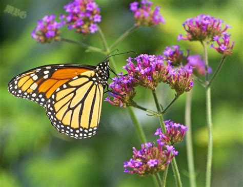 where to find caterpillars in your backyard 224 best images about butterfly garden plants on pinterest