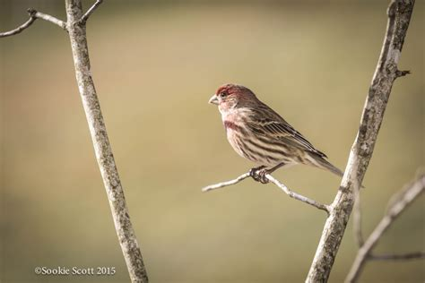 house finch song house finch song 28 images house finch bird call and