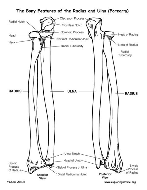 radius and ulna diagram radius and ulna forearm bony features