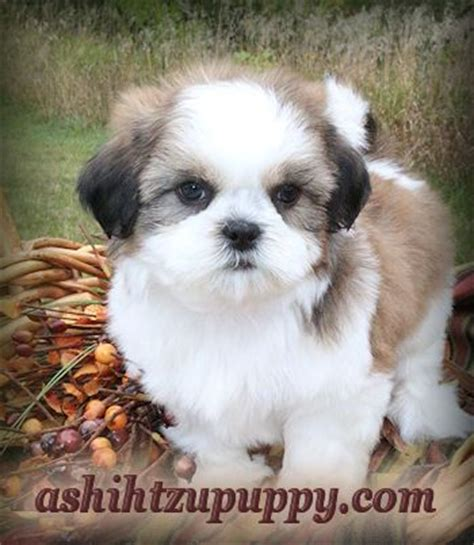 shih tzu puppies for sale indiana 1000 ideas about hypoallergenic puppies on spaniels cocker spaniel and