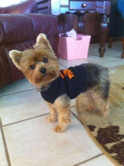yorkie chewbacca costume best 25 yorkie ideas on yorkie haircuts terrier puppies and