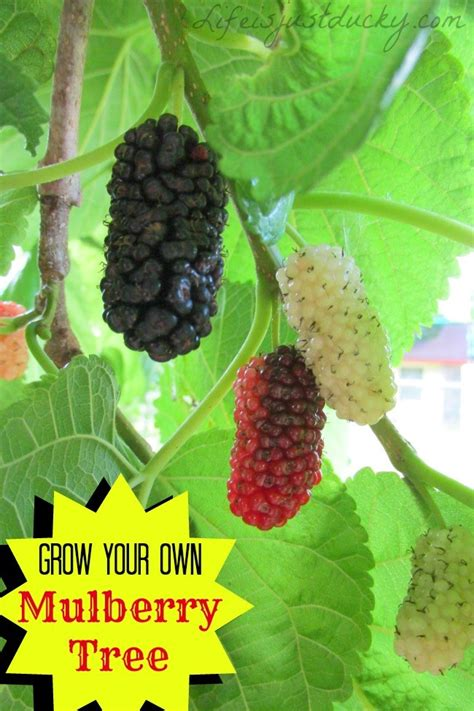 how to grow mulberry trees life is just ducky