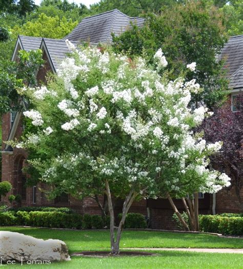 White Crape Myrtles ? Lee Ann Torrans Gardening