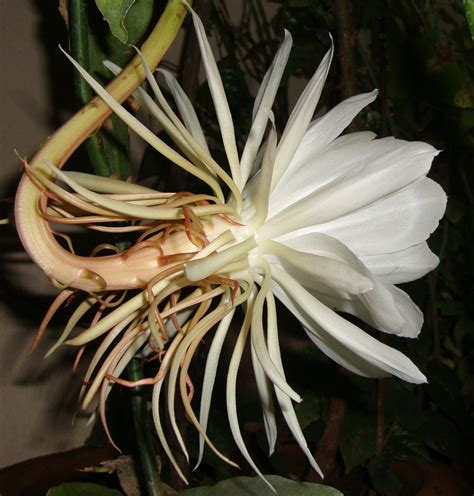 flowers that bloom at night white naturally beautiful