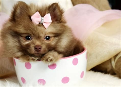 pomeranian breeders hawaii teacup pomeranian puppies pomeranian dogs
