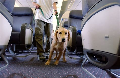 comfort dogs on airplanes delta s rules for emotional support animals on planes