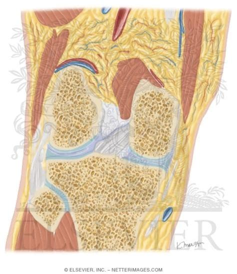 knee cross section cross section of the knee coronal view