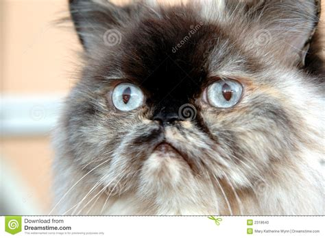 himalayan l visage de l himalaya de chat photo stock image 2318640