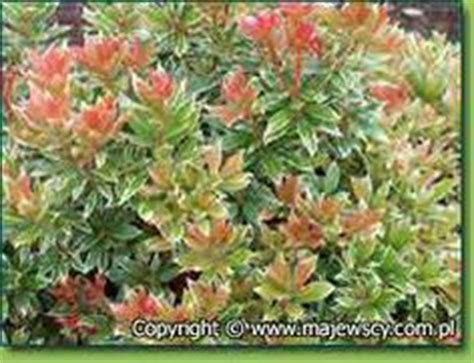 flowering shrubs for afternoon sun shade plants for back border on