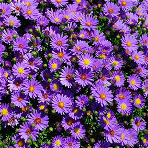 top 28 late blooming perennials zone 5 5 perennials for fall color everlongardener top 52