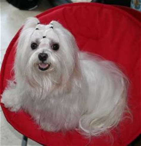 how much do yorkies weigh maltese grown weight grown maltese weigh breeds picture